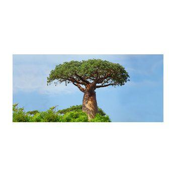 baobab baum bio apo sch ssler salze hom opathie