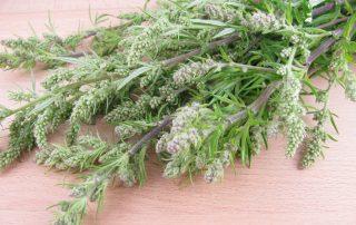 Beifuß, lateinisch Artemisia vulgaris