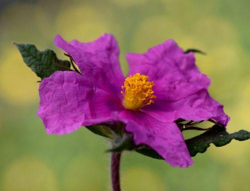 Blütenpollen